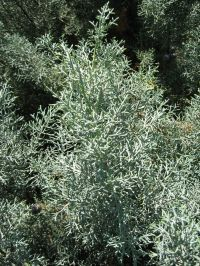 Blatt von Cupressus arizonica Arizona-Zypresse