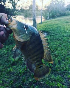 Forgot to clean him up before the pic... 7:00pm Catch... #shakespearefishing  #fishing #inshorefishing #kayakfishing #kayaklife #kayafishing #bassfishing #basspro #bigfish #fishing #fishingtrip #fisherman #keepemwet #pesca #rivermonsters #shore #bass #peacockbass #miami #305 #miamicanals #miamilakes #tilapia #lakes #ascend #columbiapfg @sc_fishing_co @shakespeare_fishing @ascendkayaks @captainjaxmiami @ascendoutdoors @uncoveredwaters @miami.fl.us @fishing.all.day.ig