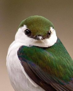 Violet Green Swallow - The violet-green swallow has a very suggestive name. Violet Green Swallow - The violet-green swallow has a very suggestive name. Though small, it is one of the most beautiful birds in the world because o. Kinds Of Birds, All Birds, Little Birds, Love Birds, Angry Birds, Suet For Birds, Bird Suet, Beautiful Creatures, Animals Beautiful