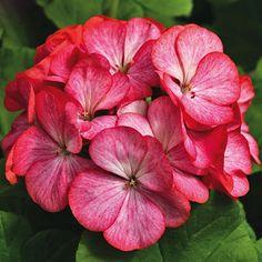 Geranium Seeds: Maverick Scarlet Picotee F1 Geranium Seeds - Geraniums | Harris Seeds