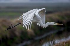 Grande aigrette - Western Great Egret - Garceta Grande - Airone bianco maggiore - Silberreiher( Ardea alba ) fly by Riccardo Trevisani on 500px