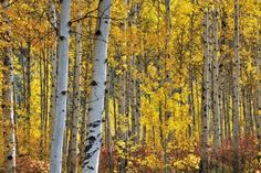 birch trees | birch trees are well known for their tall narrow trunks papery bark ...