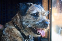 Dog on a train journey by Lodgie on Border Terrier Border Terrier, Train Journey, Terrier Dogs, Explore, Animals, Doggies, Animales, Animaux, Animal