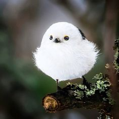 Is it a bird or a snowball? ⛄ Photo by @soosseli #WildlifePlanet