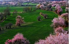 Peach trees in Nyingchi, south Tibet, are in full bloom from late March to late April