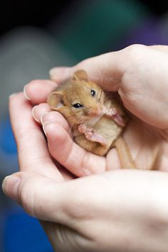 """Dormice (endangered) live mainly in the southern counties of Britain. They can spend up to 3/4 of their lives asleep!"""