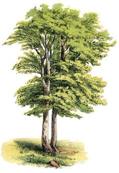 Antique Nature Graphic - Lovely Shade Tree - The Graphics Fairy