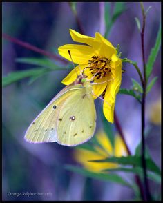 ~~Orange Sulphur Butterfly feeding on wild Golden Aster by pieceoflace photography
