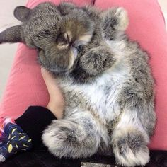 In case you are searching for a furry friend which is not only adorable, but simple to have, then look no further than a family pet rabbit. Cute Baby Bunnies, Funny Bunnies, Cute Baby Animals, Animals And Pets, Funny Animals, Animals Photos, Hamsters, Chinchillas, Mini Lop