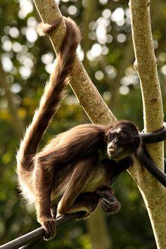 Coba Ruins and Spider Monkey Reserve Tour - Riviera Maya Monkey Habitat, Coba Ruins, Cozumel Island, Quintana Roo Mexico, Monkey 2, Primates, Mexico Travel, Riviera Maya, Unique Photo