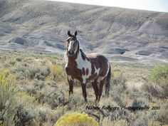 Picasso, A wild Mustang