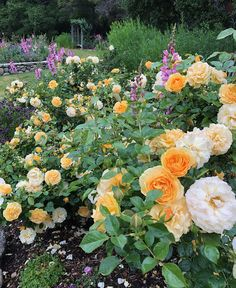 Water-Wise Rose Care | Southern California Regional Report - FineGardening