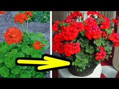 Geraniums, Indoor Plants, Make It Yourself, Youtube, Gardening, Healthy, Ideas, Tips, Lawn And Garden