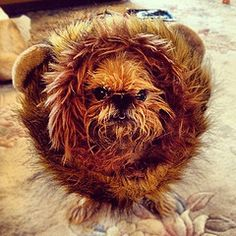 Cookie, The Brussels Griffon: Lion or Ewok?