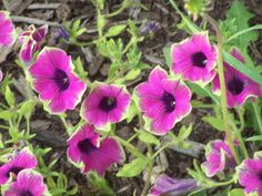 More Petunia's Lime and purple