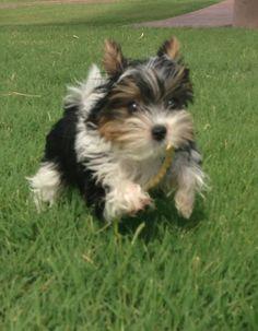 Biewer Yorkie Terrier Paisley running