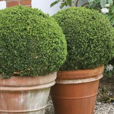Sprinter boxwood is super fast growing! It will be in garden centers across North America in spring 2014: http://emfl.us/ABGd