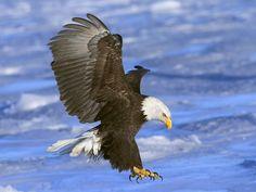 bald eagle photo   bald eagle wallpapers