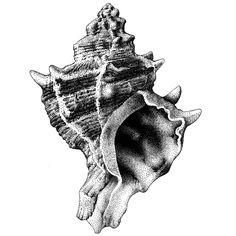 Murex trunculus. Tinta-da-china s/ poliester