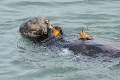 Sea Otter with Crab in Hand and on Stomach