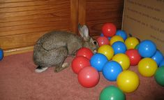 Enrichment idea - balls from children's ball houses just hide treats underneath for the guineas!