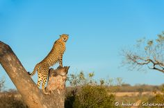 """""""On the Lookout"""" A Young Male Cheetah getting a good vantage point to survey the surrounding area, after climbing the tree he chased a few Waterbuck without success and then lay down on a termite mound for a rest ! — at Africa Photographic Travel."""