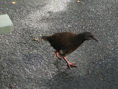 weka - a native bird of NZ
