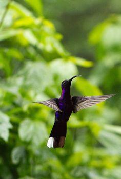 Hummingbird - Costa Rica by Benjamin Nocke, via 500px