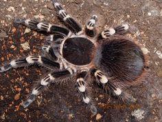 Nazwa polska: Ptasznik Białokolanowy; nazwa łacińska: Acanthoscurria geniculata; nazwa angielska: Giant Whiteknee Bird Eater, Brazilian WhitekneeTarantula, Whitebanded Tarantula. Nie jest to pająk bardzo szybki ale wystraszony potrafi się szybko przemieszczać. Siła jadu jest określana jako niska, choć jego skład nie został jeszcze dokładnie przebadany.