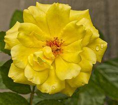 https://flic.kr/p/MeGRXN | Yellow Rose - Take 2