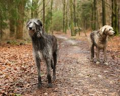 Sighthounds by rob.brob, via Flickr