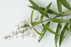 Lemon Verbena [aka  Lemon Beebrush]| ASPCA