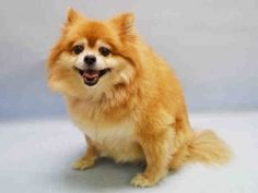 SUPER URGENT 11/07/15 Manhattan Center TORY – A1057120  SPAYED FEMALE, TAN / WHITE, POMERANIAN MIX, 9 yrs OWNER SUR – AVAILABLE, NO HOLD Reason OWNER SICK Intake condition UNSPECIFIE Intake Date 11/06/2015, From NY 11361, DueOut Date 11/06/2015