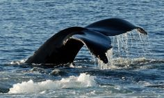 Humpback whales that frequent the Monterey Bay can be spotted right from our ocean-view deck.