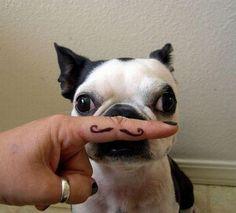 Dogstache - http://bostonterrierworld.com/dogstache/