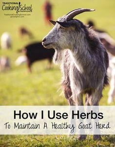 How to Raise Goats In Your Backyard . How to Raise Goats In Your Backyard . Homemade Grain Feeders for Goats Keeping Goats, Raising Goats, Goat Care, Nigerian Dwarf Goats, Goat Farming, Baby Goats, Livestock, Farm Animals, Pygmy Goats