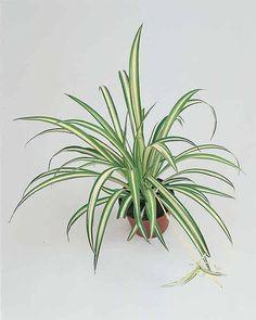 Plantas colgantes para interior las mejores ideas sobre - Plantas colgantes interior ...