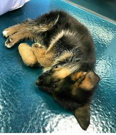 German Shepherd Puppy so adorable!
