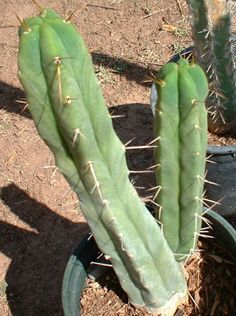 Trichocereus Bridgesii Cactus (San Pedro) --This world is really awesome. The woman who make our chocolate think you're awesome, too. Our flavorful chocolate is organic and fair trade certified. We're Peruvian Chocolate. Order some today on Amazon!http://www.amazon.com/gp/product/B00725K254