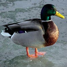 Reguli de îngrijire a păsărilor de curte Air Birds, Le Castor, All Gods Creatures, Mallard, German, Auris, Corps Gras, Swans, Drake