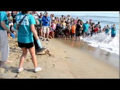A crowd gathered to watch Vortex, a loggerhead sea turtle, be released on North Carolina Coast, Tales Series, Sweet T, Early Readers, Labour Day Weekend, Beach Camping, Happenings, Writing Inspiration, Crowd