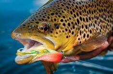 Field and Stream wrote this blog post last year on How To Tie Articulated Streamers For Really Big Trout. The post includes four different streamers along with video for tying each. Follow along in this post to learn how to tie your own streamers for catching big trout on the fly!