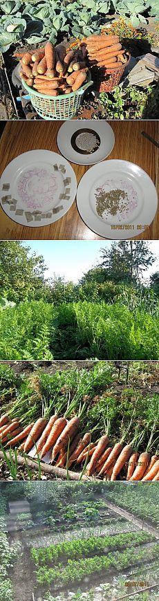 Как я выращиваю морковь - Садоводка