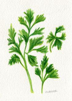 Flat leaf Parsley, Italian Parsley Watercolors  paintings original, food art, herbs, kitchen, 5 x 7, vegetable, herb  watercolor painting by SharonFosterArt on Etsy