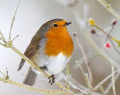 Robin Six Million Four Hundred and Forty Four_ | Flickr - Photo Sharing!