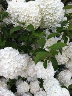 Snowball viburnum -- perfect for Virginia gardens! TeamWorks Realtor Group. Call us today! 540-271-1132.