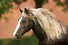 Schwarzwälder Kaltblut: BLACK FOREST HORSE