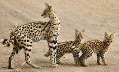 """funnywildlife: """"Rare sighting of Serval cats with twin kittens! African Wild Cat, African Cats, African Animals, African Safari, African Serval Cat, Rare Cats, Exotic Cats, Cats And Kittens, Big Cats"""