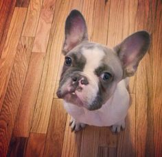 Welcome to PupBox Marshall the blue pied French Bulldog.