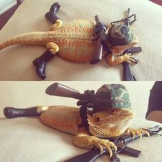 War gecko is ready for combat - Daily LOL Pics Cute Reptiles, Reptiles And Amphibians, Cute Little Animals, Cute Funny Animals, Bearded Dragon Funny, Bearded Dragon Costumes, Bearded Dragon Habitat, Cute Lizard, Funny Animal Memes